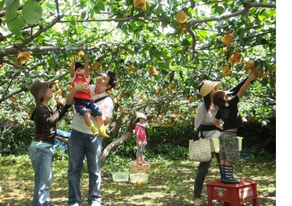 Vừn trái cây chín vàng khi vào mùa