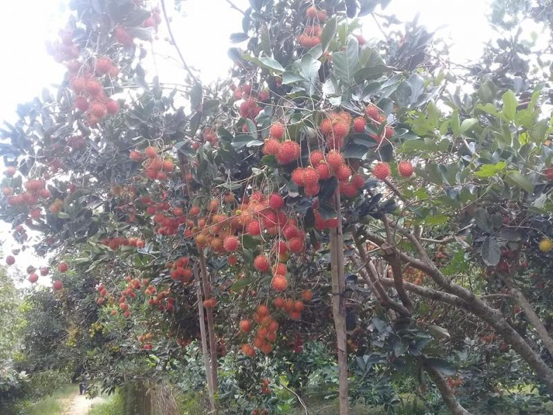 Thăm vườn chôm chôm Bảo Thạch