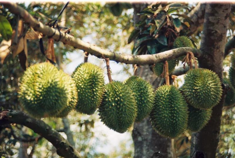 Vườn sầu riêng Bảy Thảo
