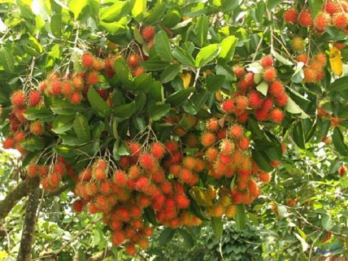 Vườn trái cây Cái Mơn – Chợ Lách