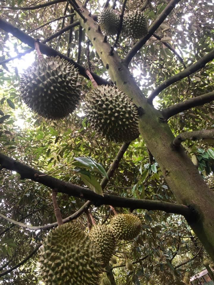 Những cây sầu riêng vườn Huệ