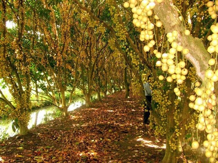 Vườn trái cây Phong Điền