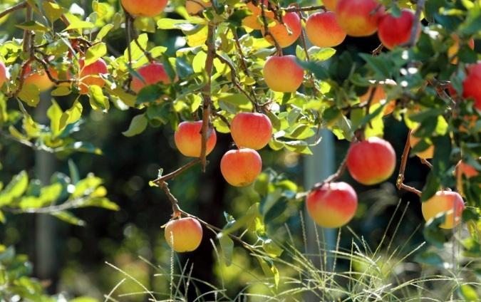 Nét quyến rũ của trái cây vào mùa chín rộ