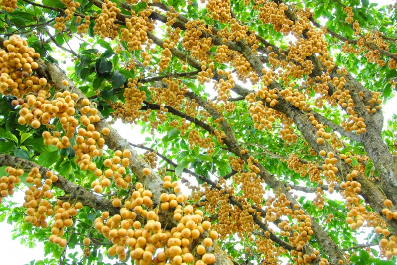 Dâu Hạ Châu khi vào mùa