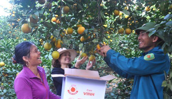 Thu hoạch cam ở xóm Minh Hồ - xã Minh Hợp