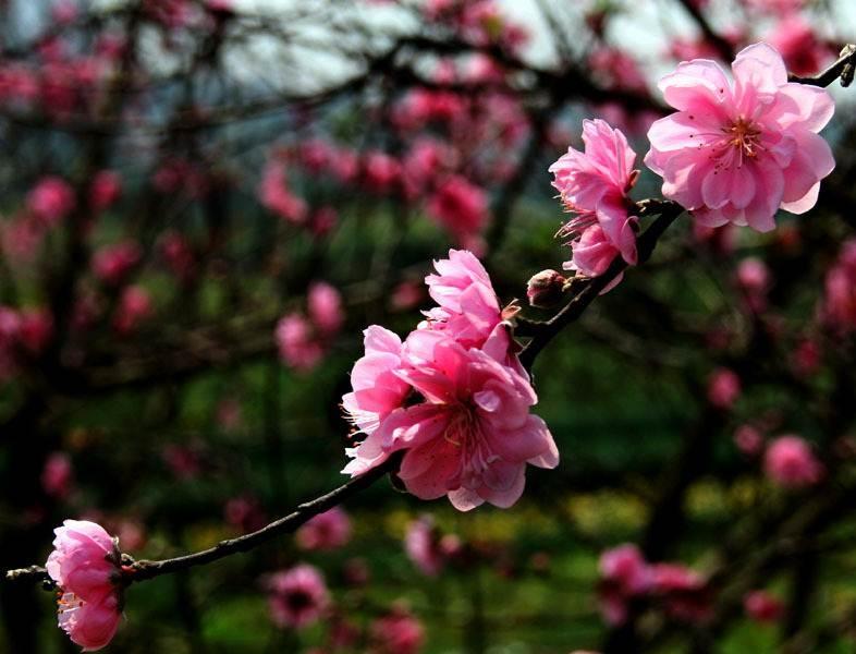 Cành đào mùa xuân