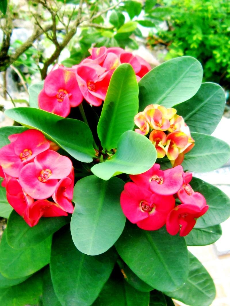 Xương rồng Bát Tiên là thực vật may mắn đối với người Thái Lan