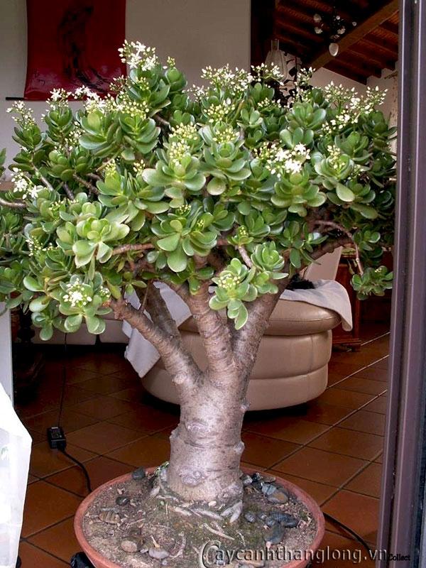 xương rồng ngọc bích rất dễ tạo thế và là một loại cây cảnh đẹp trong căn nhà của bạn