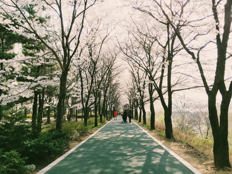 Yangjaecheon là một khu vực tuyệt vời để bạn có thể thả bước chầm chậm ngắm hoa anh đào