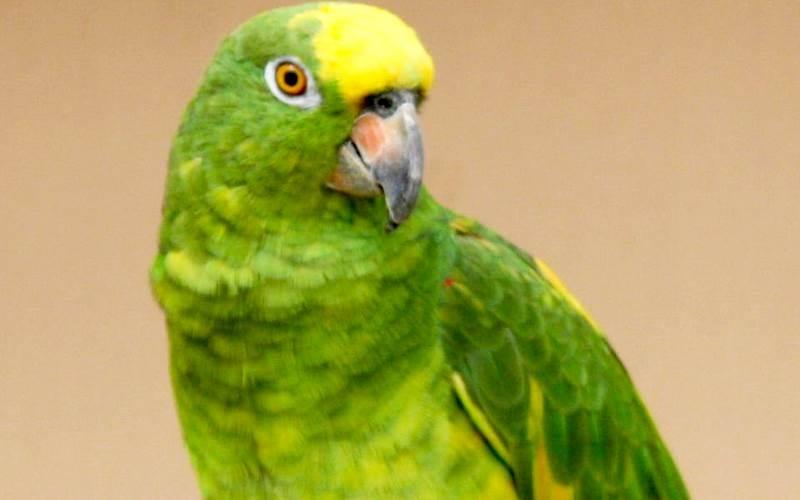 Yellow-crowned Amazon cũng là một loài chim vẹt biết nói trong cộng đồng chim vẹt ở vùng Amazon