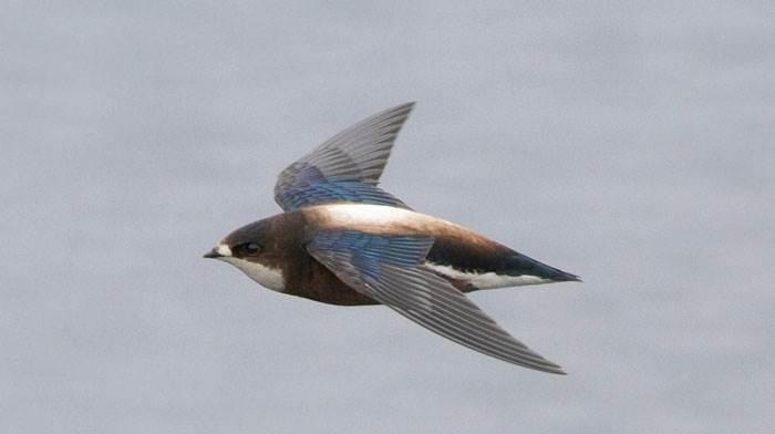 Yến đuôi nhọn họng trắng bay với tốc độ 170km/h